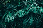 Green Leaves Of Monstera Philodendron, Plant Growing In Botanical Garden, Tropical Forest Plants, Ev poster