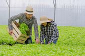 Young Asian Couple Farmer Harvesting Fresh Green Oak Lettuce Salad, Organic Hydroponic Vegetable In  poster