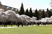 Cherry blossom at the quad
