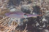 Caribbean Reef Squid Swimming Over Critically Endangered Staghorn Coral On Coral Reef Off Bonaire, D poster