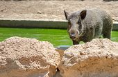 Wild Boar (sus Scrofa). This Animal Also Known As The Wild Swine Or Eurasian Wild Pig poster