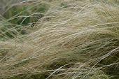 Pony Tails Grass - Latin Name - Nassella Tenuissima Pony Tails poster