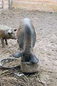 Domestication wild boar feeding