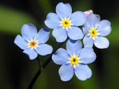 pic of forget me not  - blue flowers - JPG
