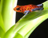rã da floresta tropical vermelho Dendrobatidae frog dendrobates pumilio