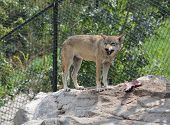 Wolf Eating Meat In Zoo. Wolf Photos poster