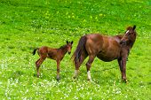 Portrait Of Horse Mom With Foal On A Green Meadow poster