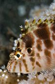 picture of hawkfish  - Threadfin Hawkfish  - JPG