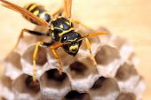 image of wasp sting  - Wasp on a nest watching the viewer - JPG