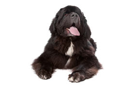picture of gentle giant  - Newfoundland dog in front of a white background - JPG