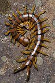 Megarian Centipede (scolopendra Cingulata)