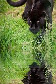 Black Jaguar Panthera Onca Prowling Through Long Grass Reflected In Calm Water