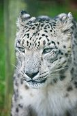 stock photo of panthera uncia  - Beautiful portrait of Snow Leopard Panthera Uncia Uncia big cat in captivity - JPG