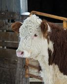 picture of hereford  - Hereford beef cow in a feed lot
