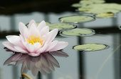 Water Lily Reflected