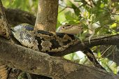 pic of tree snake  - snake named indian python in a tree seen in India - JPG