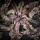 Rotting Chard Plant