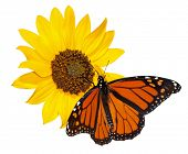 Monarch butterfly, Danaus plexippus, feeding on a wild Sunflower, isolated on white