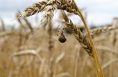 Four-spot Orb-weaver Spider Web Wheat Ears