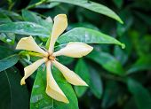 foto of gardenia  - Close Up Of Yellow Gardenia Flower In Bloom - JPG