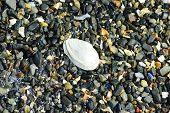 Clam Shell on Shell Beach