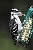 stock photo of woodpecker  - Hairy Woodpecker  - JPG