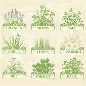 stock photo of chives  - herbs - JPG