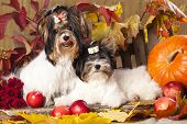 beaver yorkshire terrier and autumn leaves, pumpkins