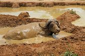 stock photo of wallow  - An african cape buffalo relaxes in a mud wallow to escape the flies.
