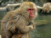 Monkeys Bathing In Hot Bath