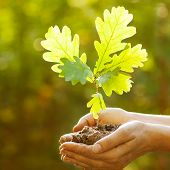 Oak sapling in hands