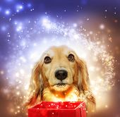 image of long hair dachshund  - Dachshund dog with a magic box and a shooting star - JPG