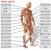 stock photo of male body anatomy  - Vector 3D male or human anatomy - JPG