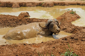 stock photo of wallow  - An african cape buffalo relaxes in a mud wallow to escape the flies. ** Note: Shallow depth of field - JPG