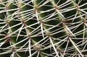 Detail Of Cactus Thorns