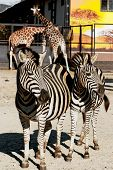 Two Zebras And Two Giraffes
