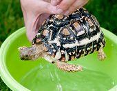pic of tortoise  - Leopard tortoise  - JPG