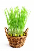 Growing Grass In A Basket.