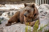stock photo of biblical  - Brown bear lying on rocks in Jerusalem Biblical Zoo - JPG