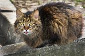 pic of hairy tongue  - In the summer in the street in rural areas the cat shows tongue - JPG