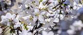 Blossoms of Cherry Tree