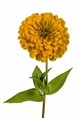 picture of zinnias  - Yellow flower of zinnia  - JPG