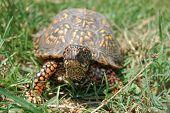 traveling turtle