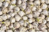 Close-up of a multitude of sprouting garlic