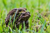 Breeding Of Toad