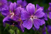 picture of geranium  - Geranium  - JPG