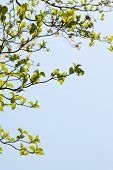 pic of dogwood  - Fresh leaves of dogwood  - JPG