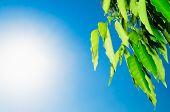 Green Leavesand Sun