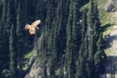 Juvenile Red-tailed Hawk Soaring in the Mountains