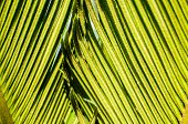 Date palm leaves detail